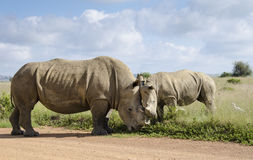Head to head rhinos Royalty Free Stock Image