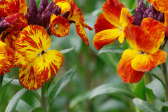 Head to head of wallflowers Stock Photos