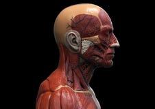 Head and torso anatomy Royalty Free Stock Photography