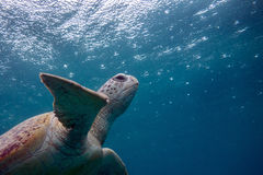 Head towards the light. A green sea turtle heads up for air as raindrops speckle the surface Royalty Free Stock Photo