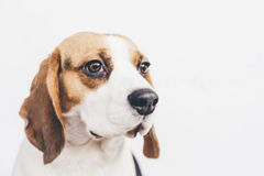 Head of tricolor beagle dog on white background Royalty Free Stock Image