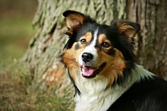 Head of tricolor border collie stock photography