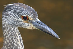 Head of Tricolored Heron Stock Image