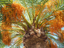 Head of a tropical Date Palm Stock Image
