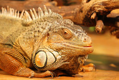 The head of a tropical lizard Stock Photography