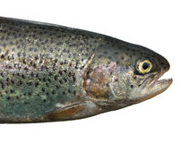 Head of trout