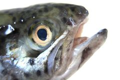 Head of trout Royalty Free Stock Photo