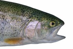 Head of trout salmon fish isolated on white background.  stock photo