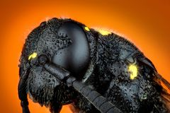 Head of Trypoxylon species. Detail of Head of wasp Trypoxylon species on orange background  micro or extreme macro photography Royalty Free Stock Photos