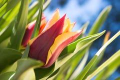 Head of tulip, Gavota sp Stock Photography