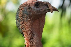 Head turkey close up Stock Images