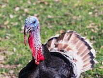 The head of the turkey male stands with the open  plumage on the solar lawn. The head of the turkey male stands with the open plumage on the solar lawn Royalty Free Stock Photography