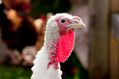 Head from turkey with white feathers Royalty Free Stock Images
