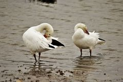 Head turning Canadian Snow Goose stock images