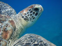Head of turtle Royalty Free Stock Photo