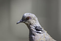 Head of turtle dove in profile with copy space Stock Photos
