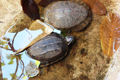 Head of turtle (selected focus) emerges from the water basin wit. H its shell and another turtle Stock Image