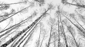 Head up fisheye view on to the birch tops: wind moves trunks of russian trees stock video