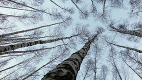 Head up view on to the birch tops: wind moves trunks of russian trees stock video footage