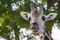 Head and upper neck of a giraffe giraffa caemlopardis, the tal Royalty Free Stock Images