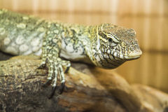 Head of Varanus Royalty Free Stock Images