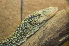 Head of Varanus Royalty Free Stock Photo