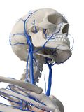 The head veins stock illustration