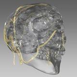 Head veins Stock Images