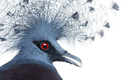 Head of Victoria Crowned Pigeon Stock Image