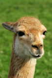 Head of a vicuna Royalty Free Stock Photography