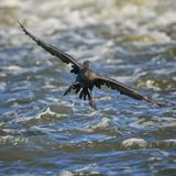 Cormorant landing on the fox river stock photography