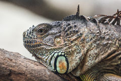 Head view of a green common iguana reptile dragon lizard Royalty Free Stock Image