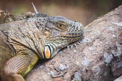 Head view of a green common iguana reptile dragon lizard Royalty Free Stock Photos