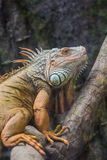 Head view of a green common iguana reptile dragon lizard Stock Photography