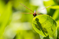 Head on View:Male Calico Pennant Dragonfly on Leaf with Shadow Stock Image