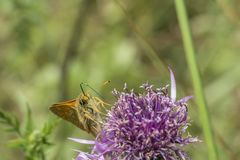 Small skipper butterfly on wild scabious stock images