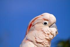 head viktig mitchell s för kakadua arkivbild