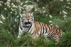 head vilande tiger för detalj Arkivbilder