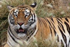 head vilande tiger för detalj Royaltyfri Fotografi