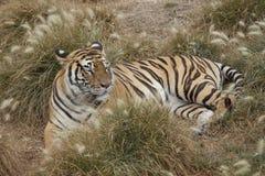 head vilande tiger för detalj Arkivbild