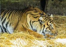 head vilande tiger för detalj Arkivfoton