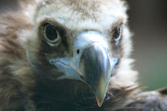 Head of vulture Stock Photo