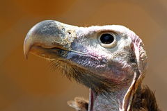 Head of vulture. Closeup of the bald head of a vulture royalty free stock images