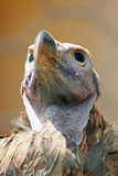 Head of vulture. Closeup of the bald head of a vulture royalty free stock photography