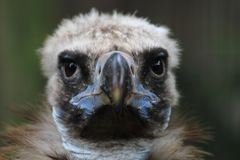 Head of vulture Stock Image