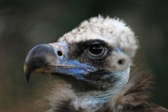 Head of vulture Royalty Free Stock Photos