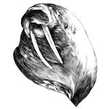 Head walrus looking into the distance thick, sketch vector graph Royalty Free Stock Photos
