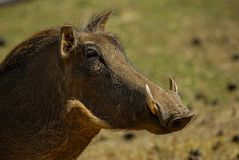 Head of a warthog. In south africa royalty free stock images