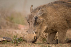 Head of warthog kneeling to find food Royalty Free Stock Photos