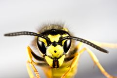 Head of wasp in grey background Royalty Free Stock Photos